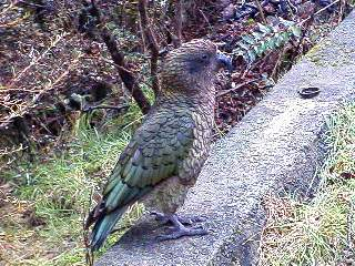 Kea, beautiful green feathers, red/orange feathers under wings. NO FEAR