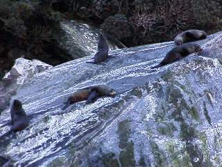 seals on Milford Sound