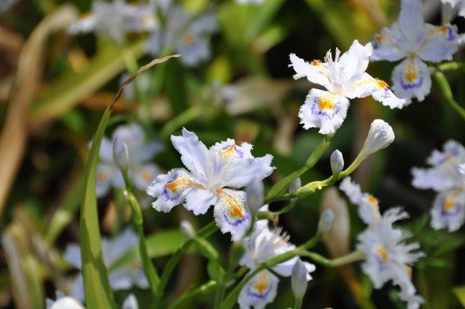 Tokyo Iris Japonica