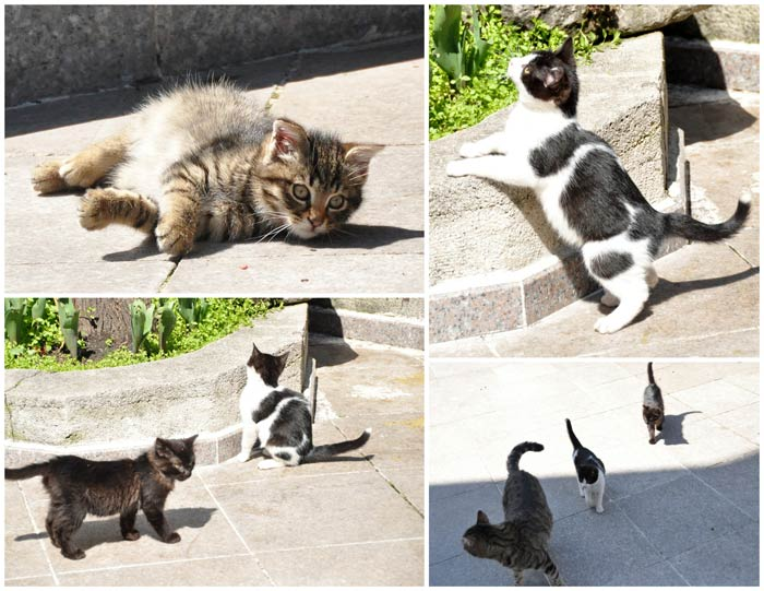 Istanbul Kittens