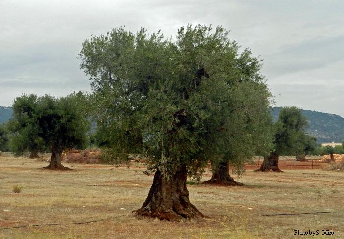 Masseria Salamina Olive Tree