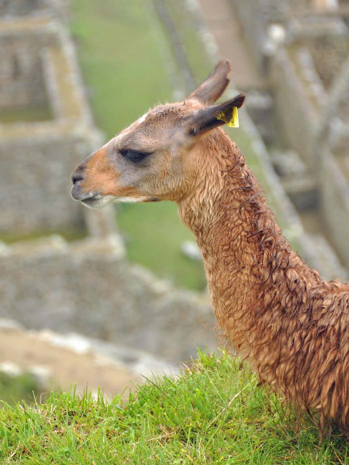 Machu Picchu llama on wired2theworld.com