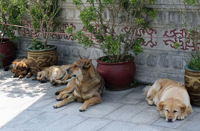 Po Lin Monastery Dogs