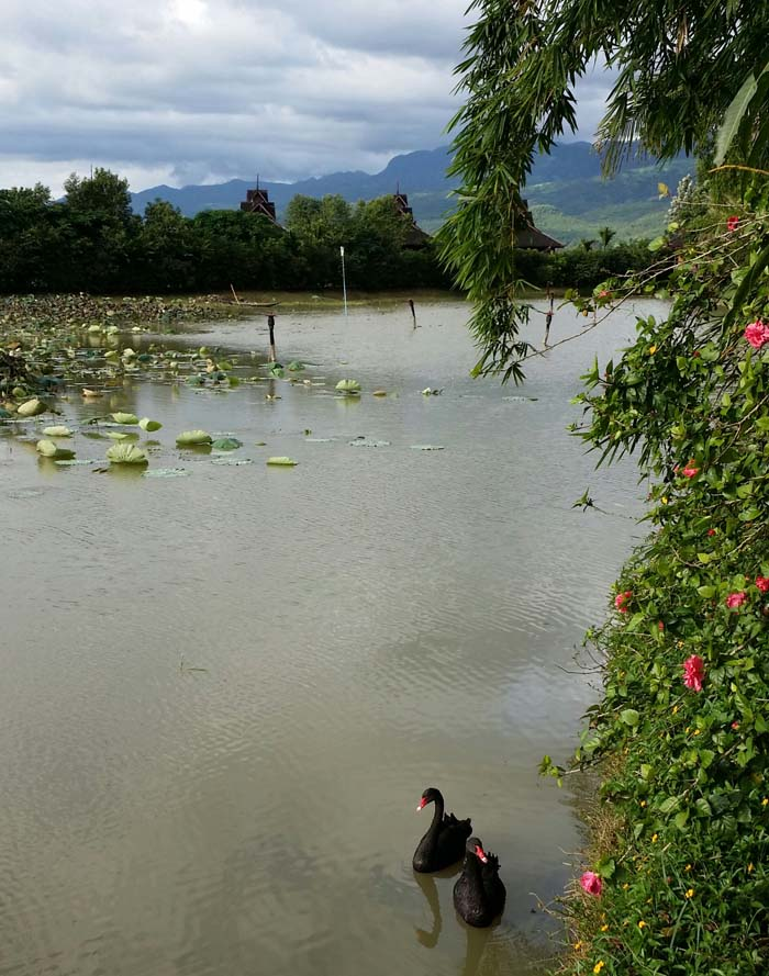 Inle Resort lagoon with black swans