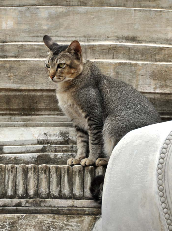 Cat at In Dien Pagoda