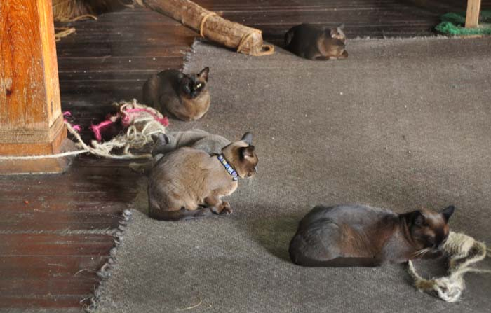 Inthar Heritage House Burmese cats!