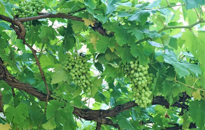 Grapes on the vine at Mate Winery